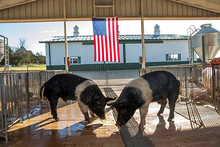 Two hogs standing in front of the American Flag