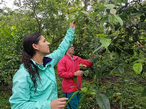 Seniors Madison Bagg, psychology major, and Mikaila Livingston, agriculture education major, pick guayusa leaves.
