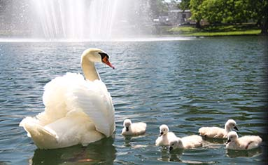 Five swans born at College of the Ozarks.