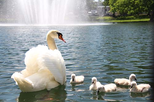 Five baby swans born at C of O.