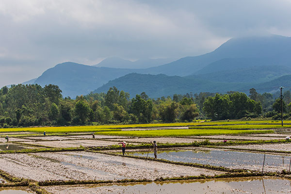 Rice fields with workers and mountains in the background